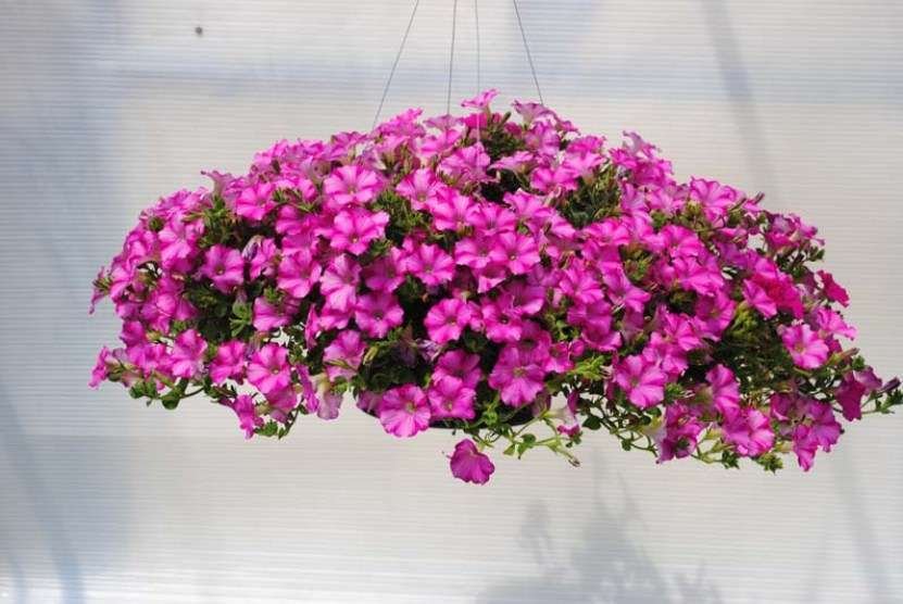 Jenis Tanaman Hias Gantung Bunga Petunia