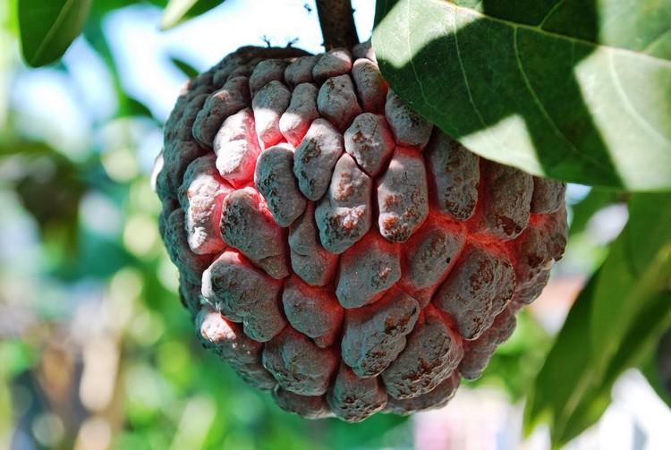 Tanaman obat buah srikaya