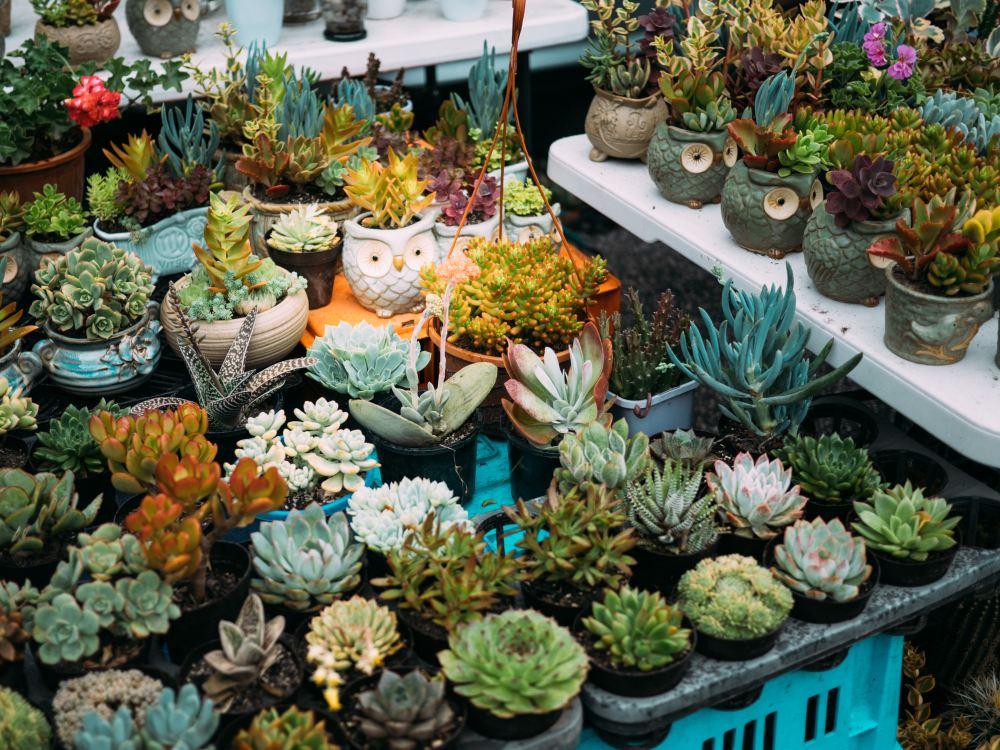 Memilih jenis kaktus yang tepat dalam ruangan
