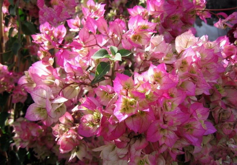Download 9500 Gambar Bunga Bougenville Terbagus Paling Cantik