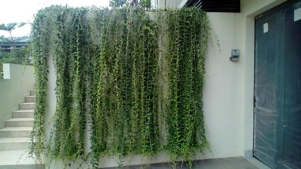 Tanaman Merambat Curtain