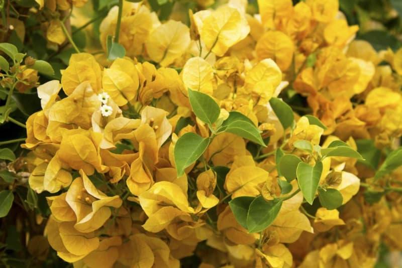 Bunga Bougenville Gold Rush