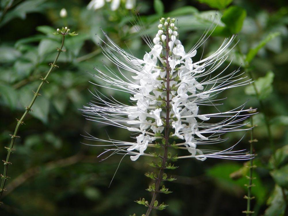 tanaman obat daun kumis kucing