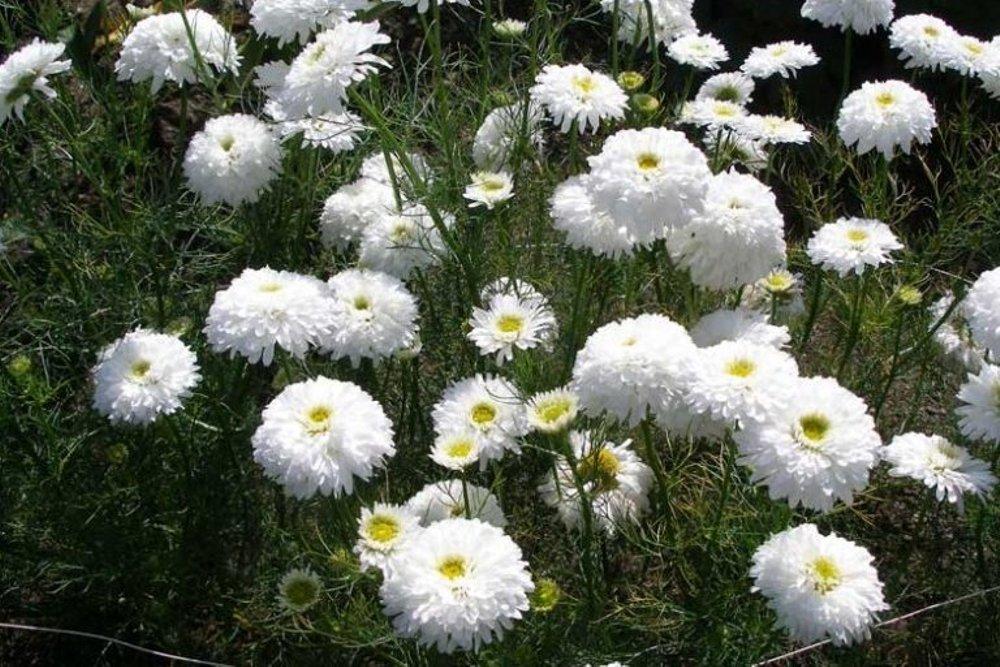 Taman Rumah Makin Cantik Dengan 5 Jenis Bunga Krisan Ini