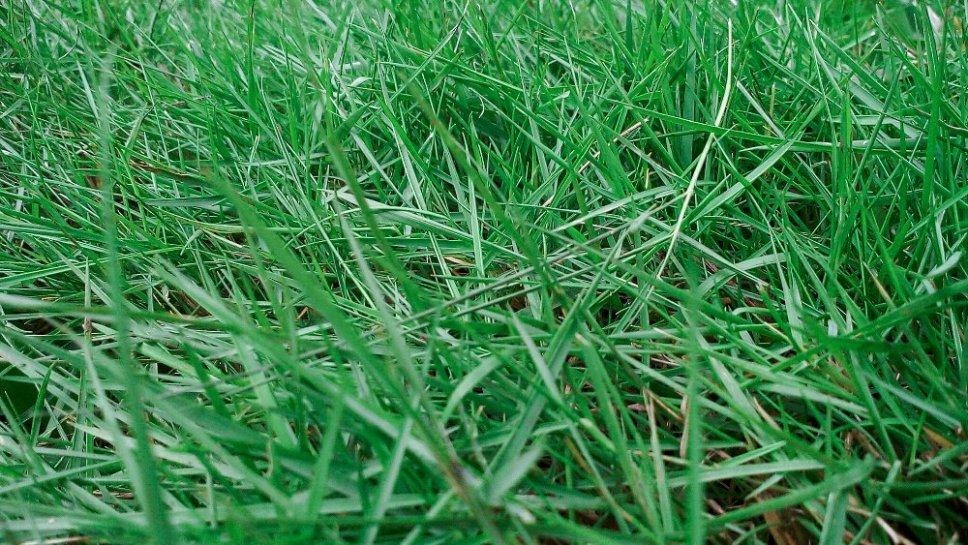 Jenis Rumput Peking untuk Taman Rumah
