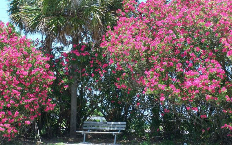 Bunga Jepun Tanaman Hias Cantik Yang Punya Racun Mematikan