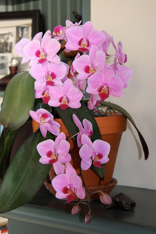 Bunga Hias Anggrek