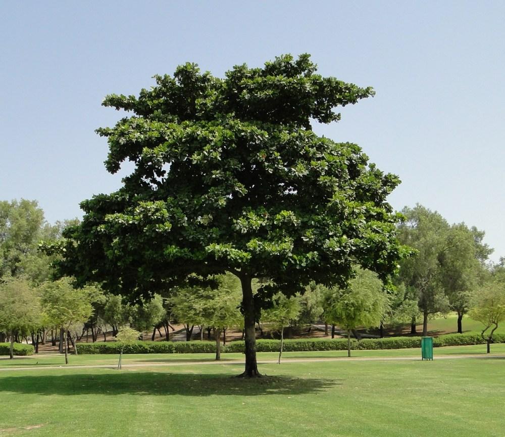 Pohon Ketapang Tanaman Menjengkelkan Dengan Sejuta Manfaat