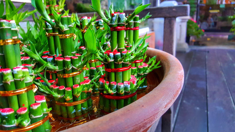 Tanaman Hias Bambu Rejeki