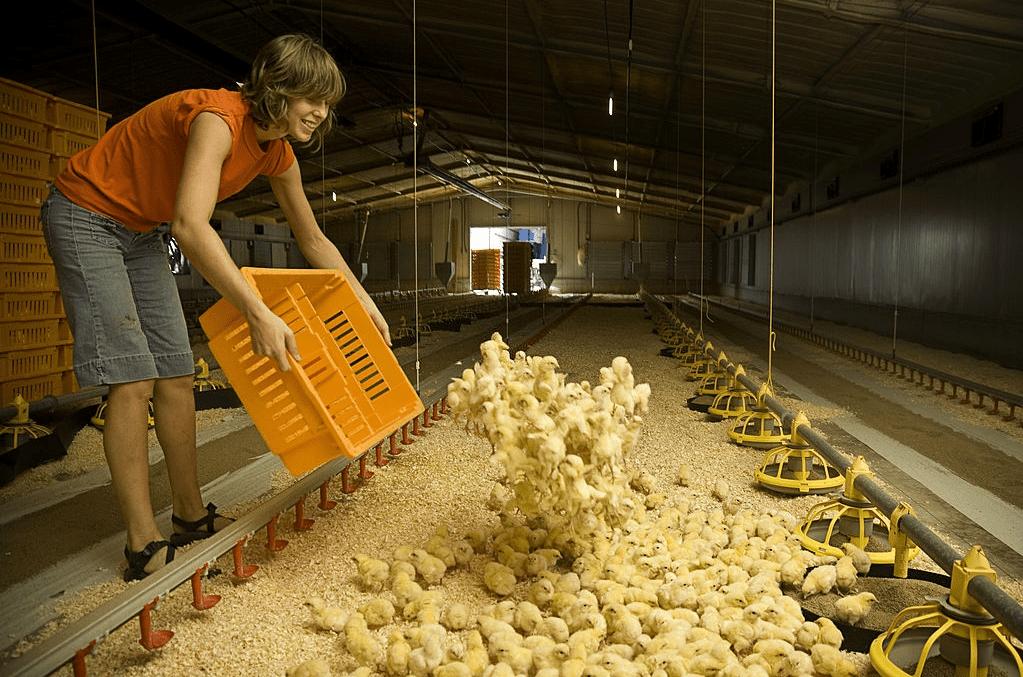 Chicken feeding guide