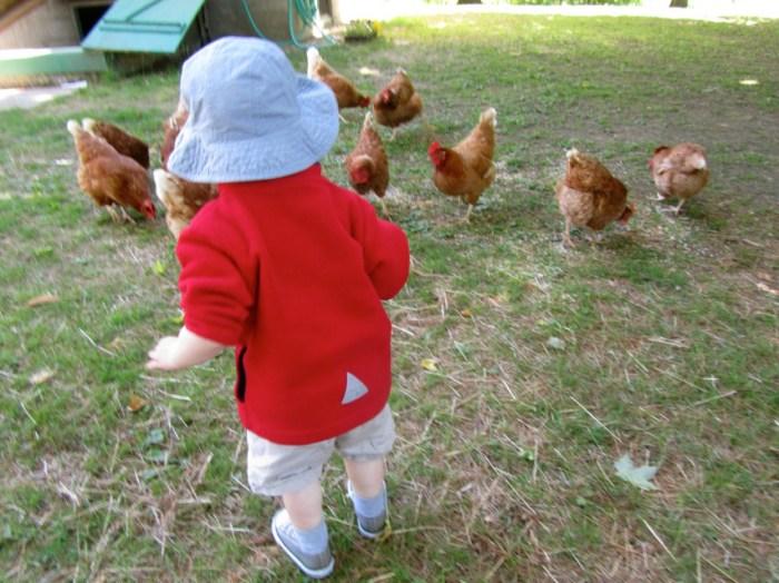 should you breed golden comet chicken