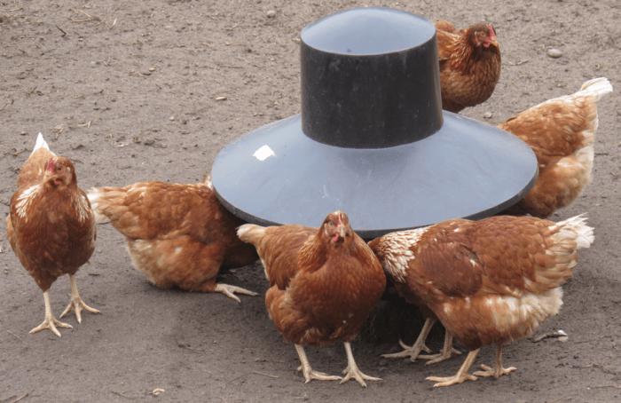 buying chicken feeder