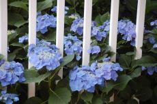 Lacecap hydrangeas peep through fence posts