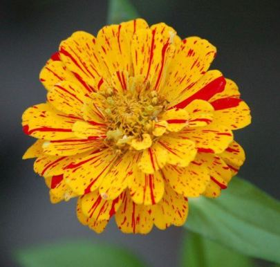 Speckled zinnia