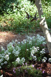 Candytuft groundcover