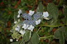 Varigated-leaf Lacecap Hydrangea