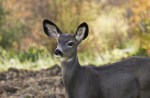 Defensive Driving: How to Avoid Hitting a Deer with Your Car (and what to do if you do)
