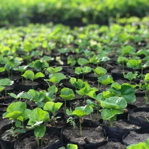 Haiti_2018_Seedlings 2