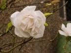 White Rose +