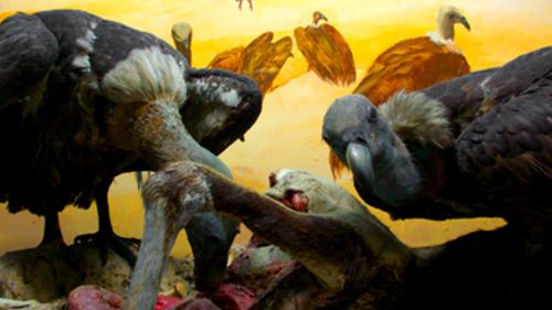 Delhi's Last Two Vultures