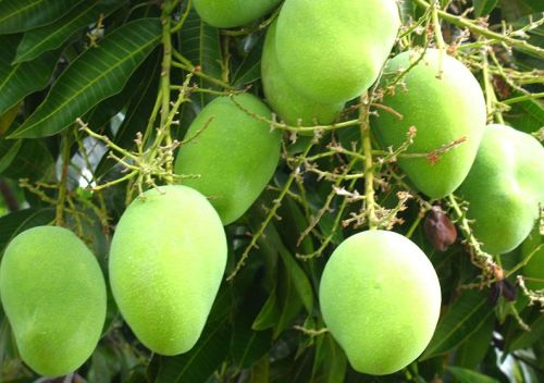 Growing Young With Green Mangoes
