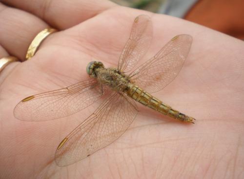 Dragonfly in Delhi