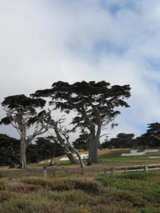 Cypress at Pebble beach