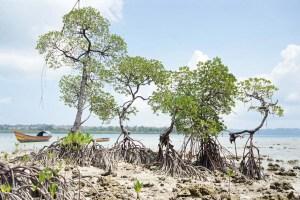 mangroves at Havelock