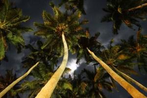 Coconut trees - SeaShells Havelock
