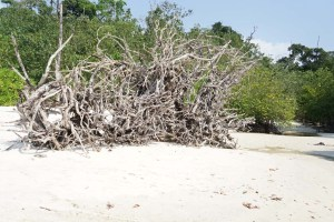 Uprooted Trees at Elephant Beach