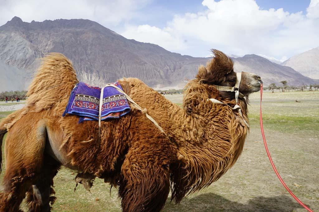 Nubra Bactarian Camel
