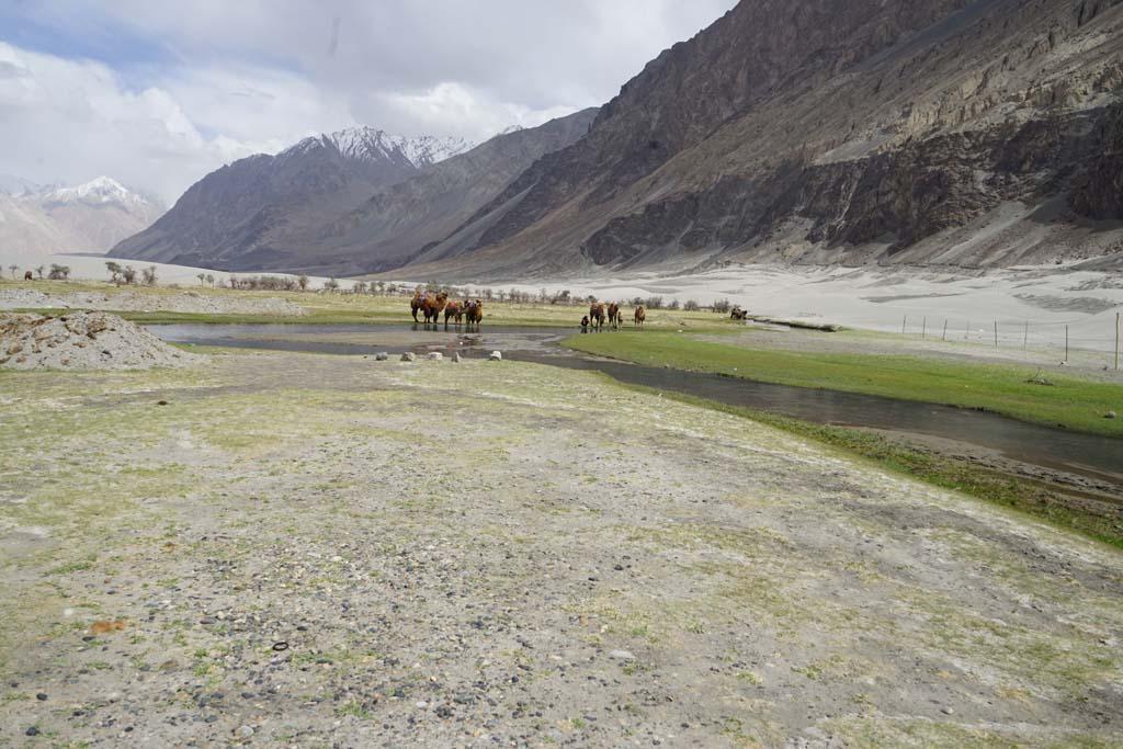 Nubra Camels