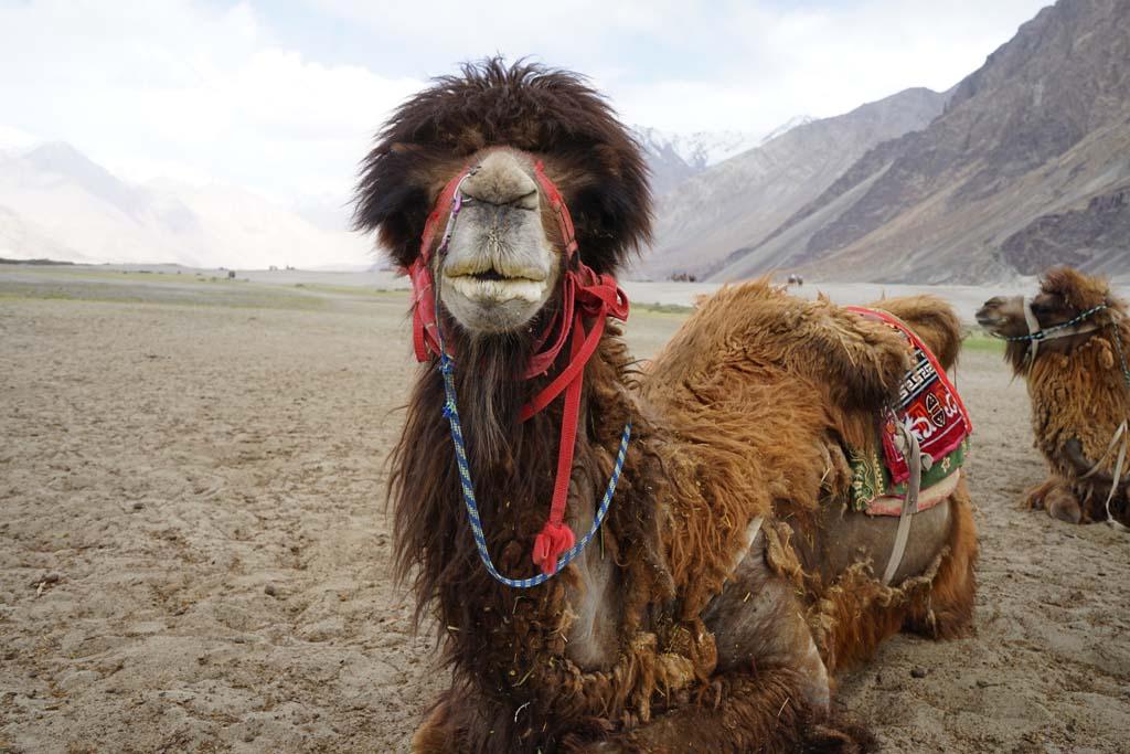 Nubra Bactarian Camels