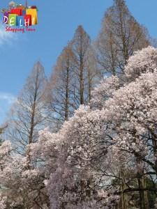 Shinjuku Goyen Cherry blossoms 2