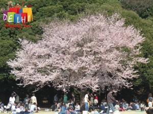 Shinjuku Goyen Cherry blossoms 3