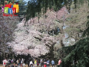 Shinjuku Goyen Cherry blossoms large tree