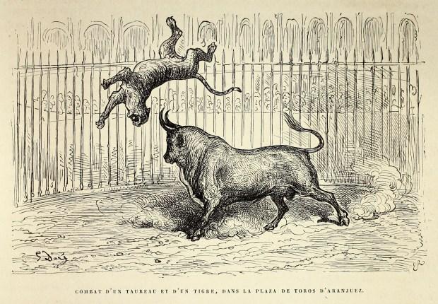 Combat d'un taureau et d'un tigre dans la Plaza de Toros d'Aranjuez - par Gustave Doré