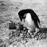 Photo Herbert Ponting (1911) - Manchot Adélie et conserves de Golden Syrup de marque Lyle (Expédition Terra Nova)