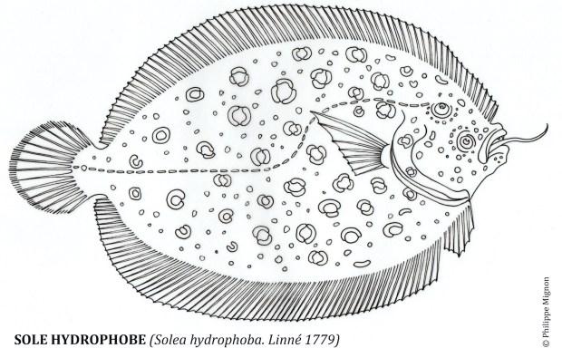 Coloriage - La sole hydrophobe © Philippe Mignon
