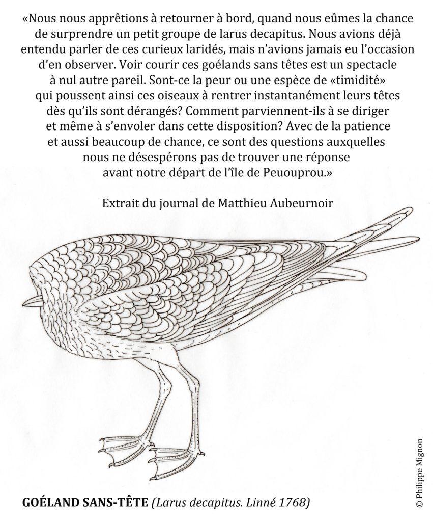 Coloriage - Goéland sans tête © Philippe Mignon