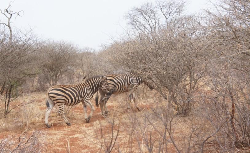 Zebras vistas no safari do Jacis Lodge, na Africa do Sul