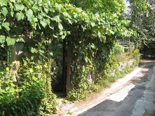 Backyard lane grapes