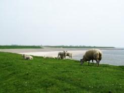 Sheep of Texel
