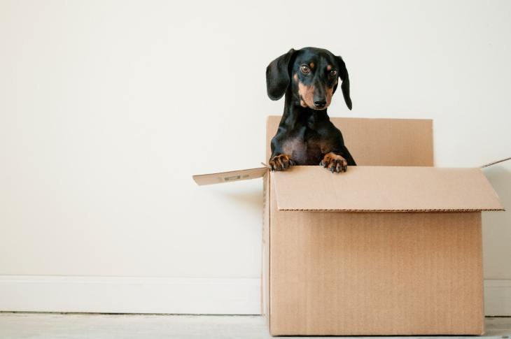 Black and brown dachsung dog in a cardboard moving box