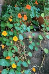 insalata di fiori di nasturzio - 5