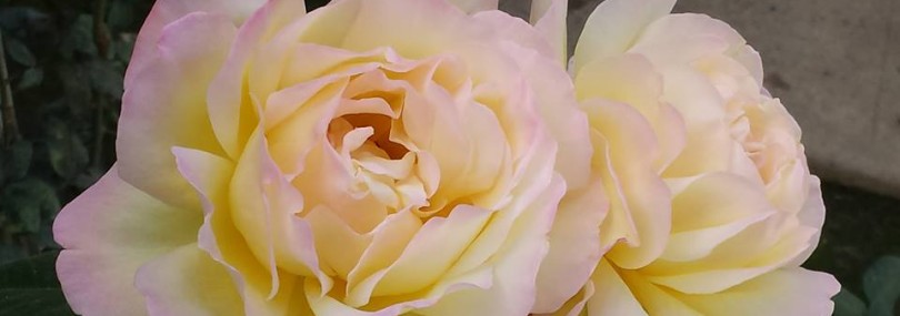 cropped-open-roses.jpg