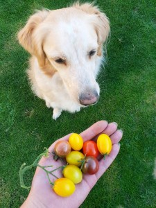 Dog and tomatoes