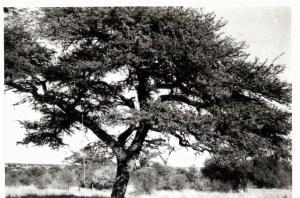 kameeldoringboomsherwood