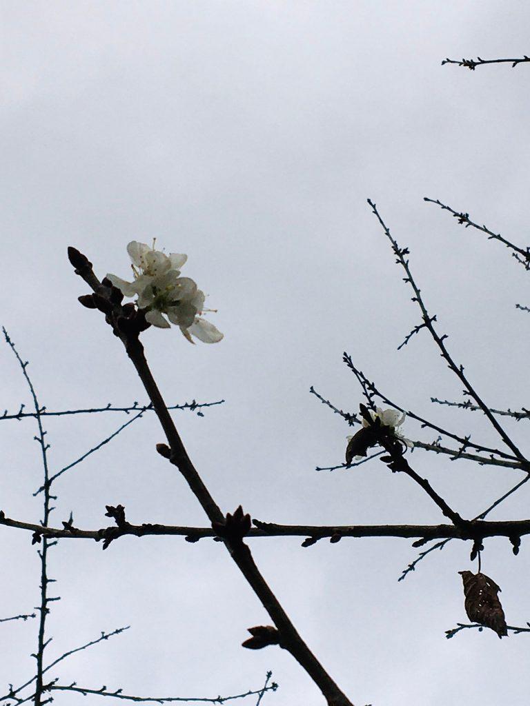 Des cerises en hiver