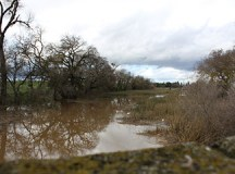 On Manthey Road in Lathrop, water begins to rise and surpass surrounding tree trunks, due to recent rainstorms.